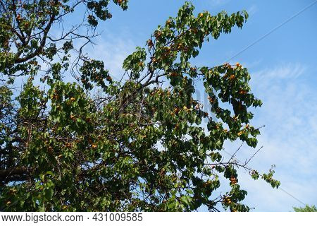 Numerous Ripe Apricots In The Leafage Against Blue Sky In July
