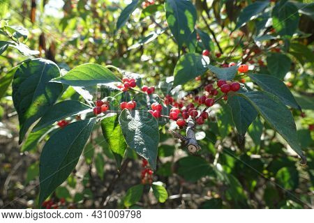 Red Berries On Branches Of Amur Honeysuckle In October