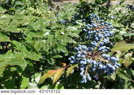 Clusters Of Blue Berries In The Leafage Of Mahonia Aquifolium In July