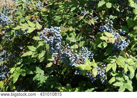 Lots Of Blue Berries In The Leafage Of Mahonia Aquifolium In  July