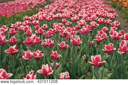 It Is Spring Time. Nature Landscape Sightseeing In Europe. Fresh Spring Flowers. Gather The Bouquet.