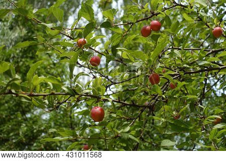 Multiple Ripe Fruits In The Leafage Of Mirabelle Plum Tree In July