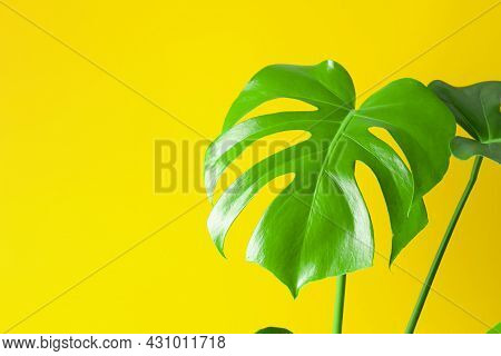 Beautiful Monstera Leaves Or Swiss Cheese Plant On A Yellow Background. Monstera In A Modern Interio