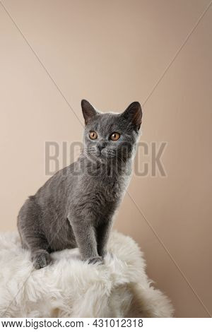 A Young British Short-hair Cat - A Grey Kitten Sitting On A White Faux Fur Surface On A Beige Backgr