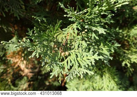 Small Brown Cones In The Leafage Of Thuja Occidentalis In October