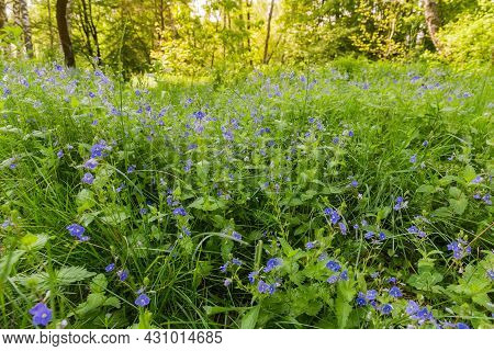Flowering Veronica Chamaedrys Among The Various Herbs On A Glade In Spring Forest, Selective Focus O