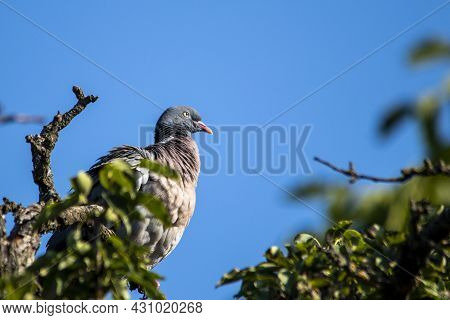 European Wild Pigeon, Turtle Dove, Wood Pigeon. Close-up Photo Of A Wild Pigeon Sitting On Top Of An