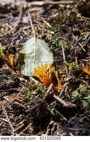 Interesting Beautiful Yellow Inedible Coral Mushrooms Calocera Viscosa Growing On Wood In Fresh Moss