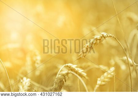 Wheat - Close The Wheat Field. Wheat As Background. Wheat In Sunlight.