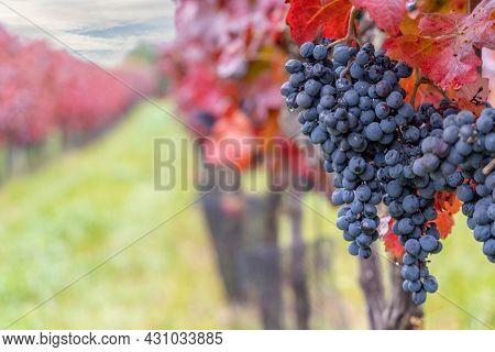 Blue grapes Alibernet in autumn vineyard, Southern Moravia, Czech Republic