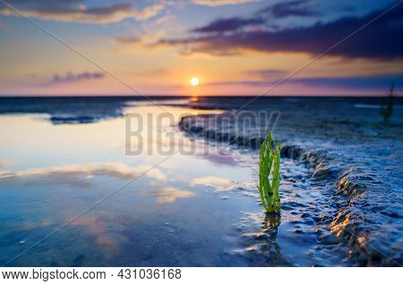 Glasswort, Pickleweed, Picklegrass, Marsh Samphire, Mouse Tits, Sea Beans, Samphire Greens Or Sea As