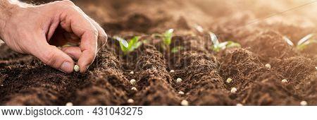 Flower Seed Plant In Garden Or Farm. Sapling Growth