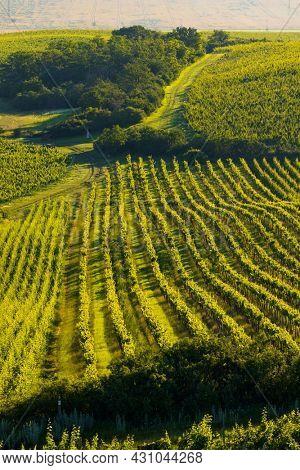 Vineyards under Palava near Zajeci, Southern Moravia, Czech Republic