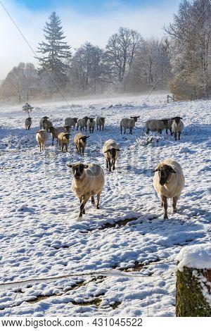 Sheep in Orlicke hory, Eastern Bohemia, Czech Republic