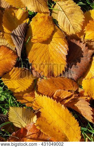 Fallen Autumn Leaves Background. Colorful Seasonal Natural Orange, Yellow, Brown Background. Dry Elm