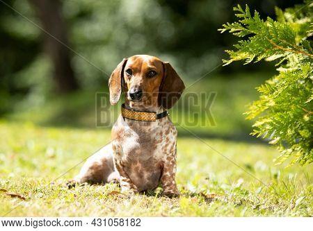 Dog dachshund piebald  puppy green grass; dog portrait