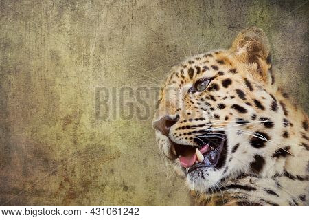 Young adult Amur Leopard. A species of leopard indigenous to southeastern Russia and northeast China, and listed as Critically Endangered. Textured background with space for text.