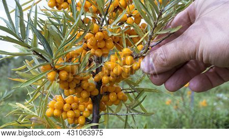 A Farmer Hands Collects Buckthorn Berries From A Shrub In The Garden. Common Sea Buckthorn Hippophae