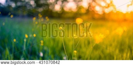 Abstract Soft Focus Sunset Banner, Field Landscape Of Yellow Flowers And Grass Meadow Warm Golden Ho