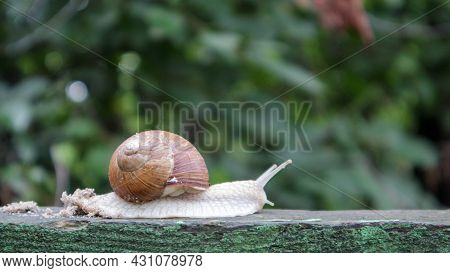 Large Crawling Garden Snail With A Striped Shell. A Large White Mollusc With A Brown Striped Shell.