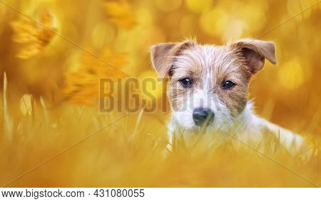 Banner Of A Cute Pet Dog Puppy As Listening In The Grass In Autumn With Orange Golden Leaves