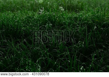 Fresh Thick Grass With Water Drops In The Early Morning