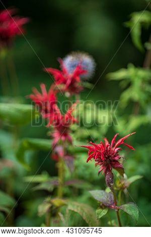 bee balm in the organic garden