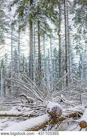 Dying Silver Forest Snowed In Landscape Brocken Mountain Harz Germany