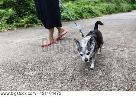 Woman Walk With Small Chihuahua Dog On The Street Outdoor.