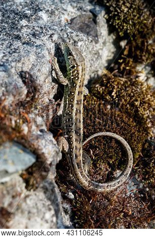 A Female Sand Lizard Sunbathing On A Stone.