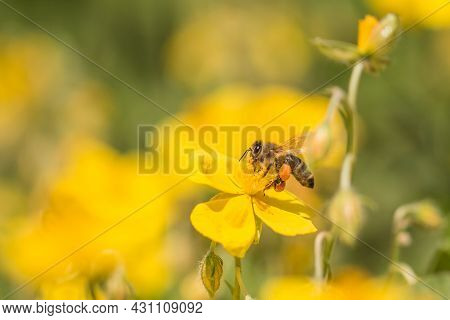 Honey Bee Garden Flight Pollinating Flower And Collecting Pollen. Closeup Of Insect In Its Ecosystem