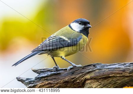 Great Tit (parus Major) Garden Bird Perched On Branch With Beautiful Autumn Background. Little Songb