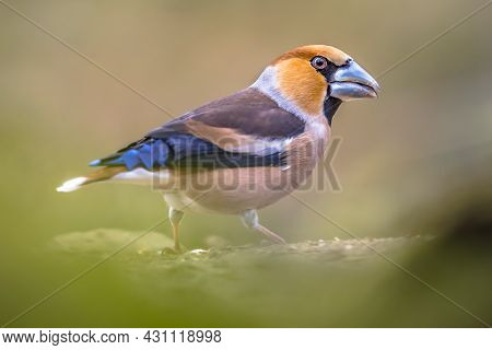 Hawfinch (coccothraustes Coccothraustes),male Bird Of This Great Colorful Songbird, Foraging On The