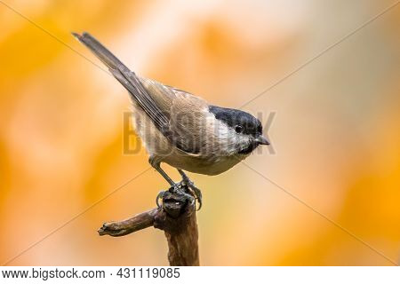 Willow Tit (poecile Montanus). Songbird Perched On Branch Against Blurred Colorful Autumn Background