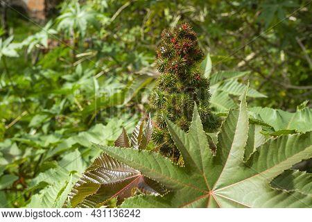 Castor Bean Plants - Ricinus Communis. Natural Background