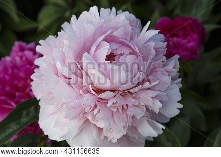 Flower Double Apple-blossom Pink  Peony Reine Supreme , Blooming Paeonia Lactiflora In Summer Garden