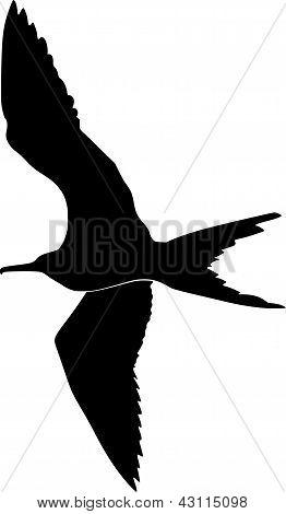 fregat bird