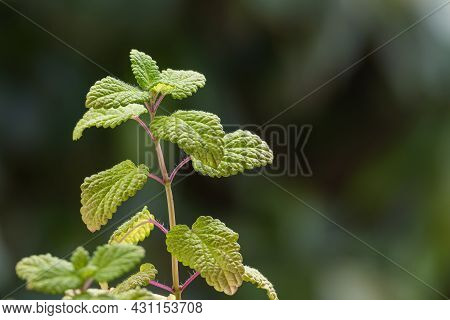 Detail Of Leaves Of The Lemon Balm Plant Seen Close Up With Daylight Indoors