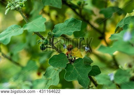 Turkey Berry, Devil's Fig, Aubergine Or Pea Eggplant Or Red Nightshade Wild Colored Fruits