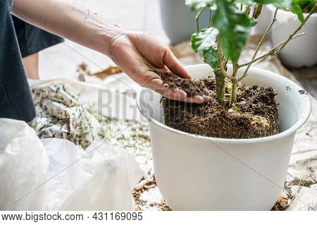 Hand Giving Soil To Pot Plant After Planting A Tree. Planting A Tree It Will Provide Environmental,