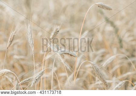 The Setting Sun Shines With Rays On The Ears Of Wheat. Backgrounds Of Field Wheat.the Setting Sun Sh