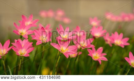 Little Pink Rain Lily Petals Flower Plant Bloommimg On Fresh Green Leaf, Botanical Name Called Cuban
