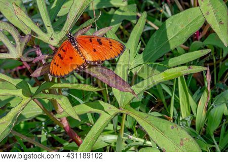 An Orange Slightly Yellow Butterfly Leaning On The Grass. Butterflies Are Insects In The Macrolepido