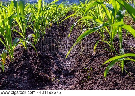 Many Corn Plants Are Lined Up In The Fields Trying To Grow Big. Maize Or Indian Corn (called Corn In