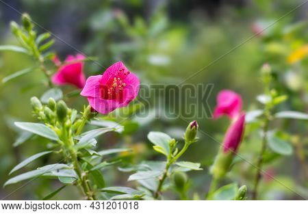 Bright Pink With Red Combined Hibiscus Rosa Sinensis Flower In The Garden