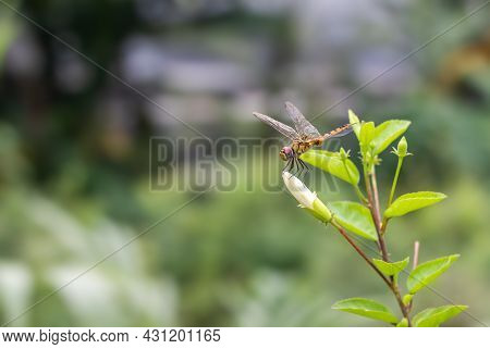 A Beautiful Orange Color Dragonfly With Transparent Wings Resting On A White Hibiscus Rosa Sinensis