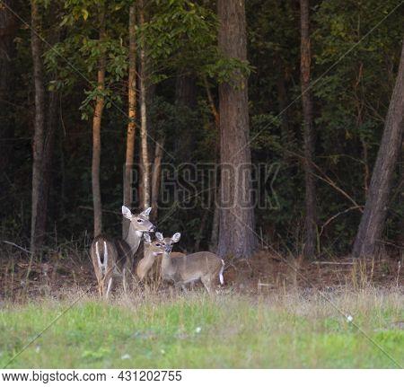 Three Whitetail Deer Near The Trees Outside Raeford North Carolina