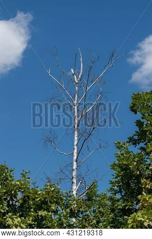 Standing Dead Tree Or Snag, Dry Birch Tree Against Blue Sky