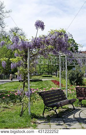 Cozy Place For Spring Relaxation Whit Wooden Bench Under The Loose Shade Of The Full Flowered Purple