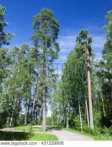 Road In Summer Pine Forest On  Clear Summer Day. Coniferous Forest With Tall Pines And  Dirt Road On
